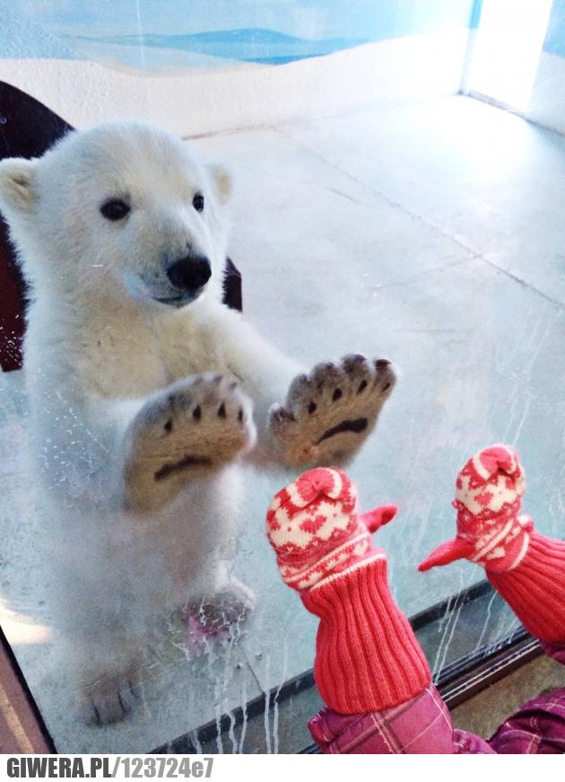 Miś,Niedźwiedź,Niedźwiedź Polarny,Zoo
