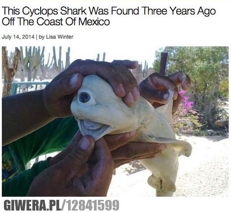 rekin cyklop