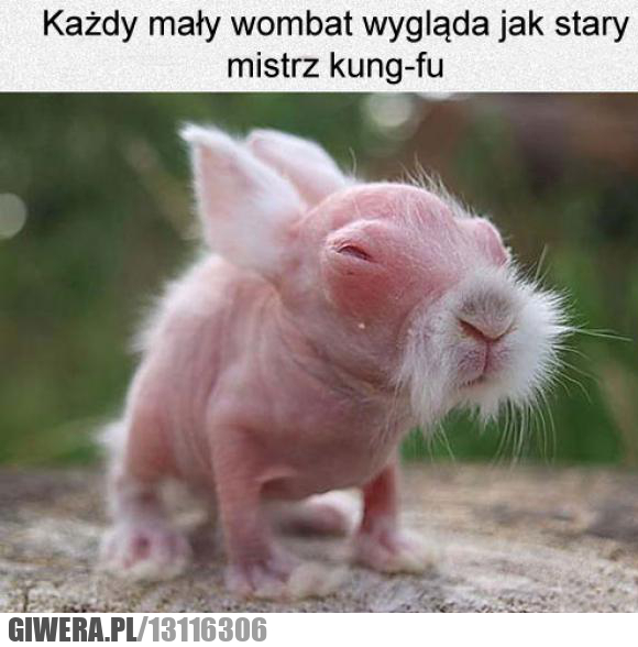 Wombat,mistrz kung-fu