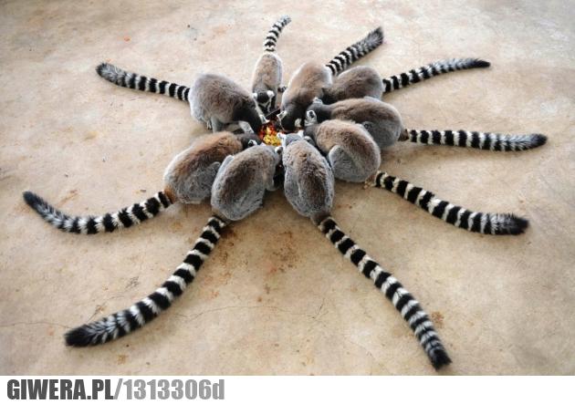 król Julian,Lemur