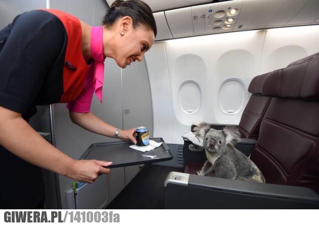 Koala,samolot,Australia