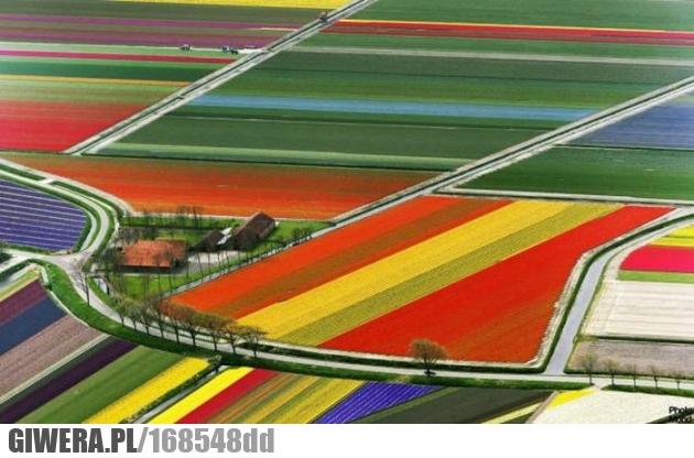 Tulipany,Holandia