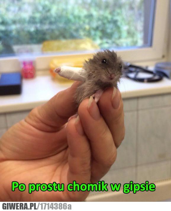 Chomik,gips