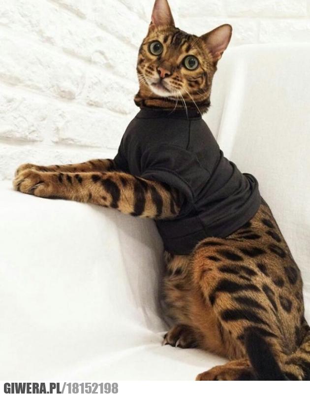 Koci model