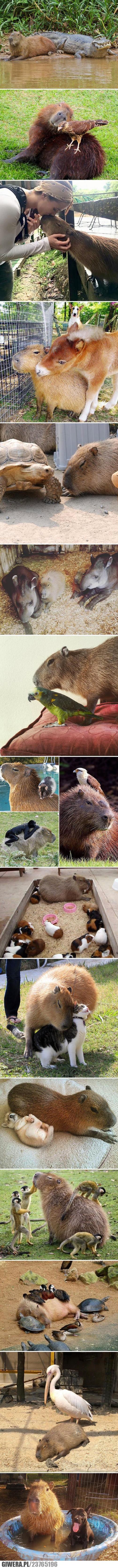 Kapibara - kumpel dla każdego
