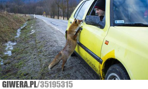 Gdzie jest najbliższy kurnik, lis
