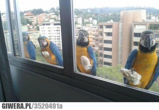 heheszki,papuga