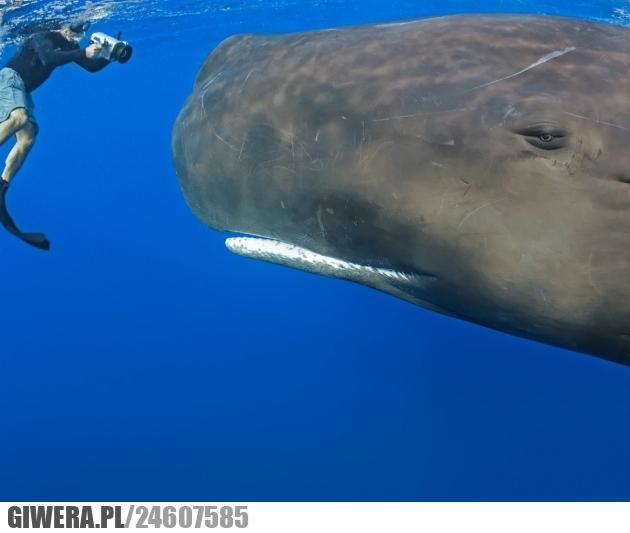 wieloryb,nurek